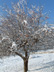 Snowy apple tree